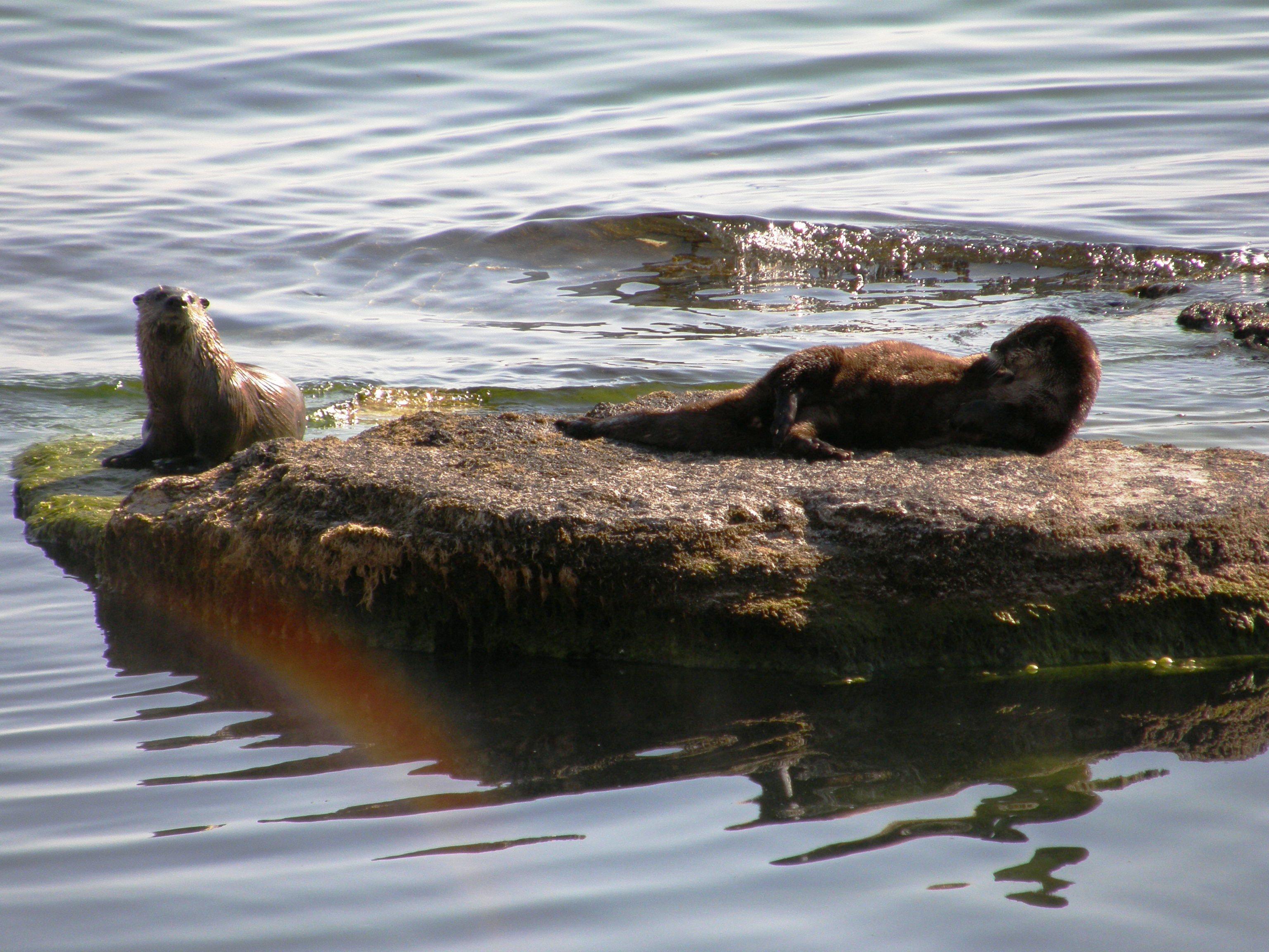 yellowstone, yellowstone national park, otters