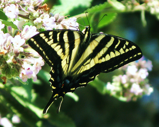 angeles national forest, california, butterfly, swallowtail