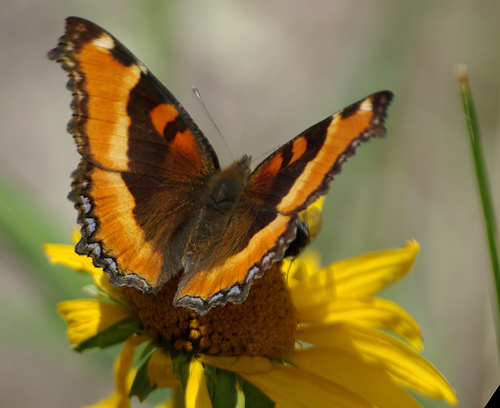 butterfly, apache national forest, arizona