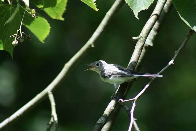 blue-gray gnatcatcher, blackhawk springs forest preserve, winnebago county