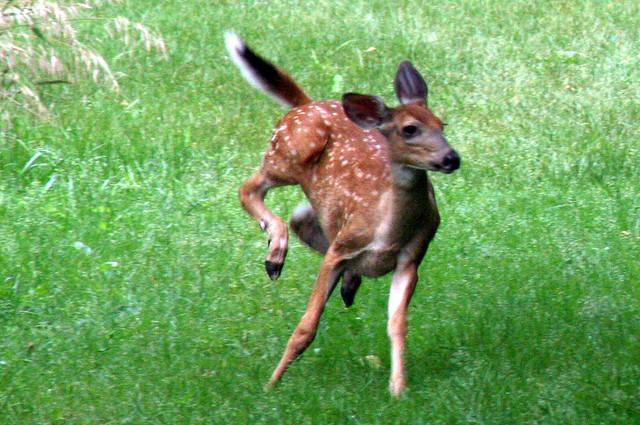 Blackhawk Springs Forest Preserve, Winnebago County, white tailed deer