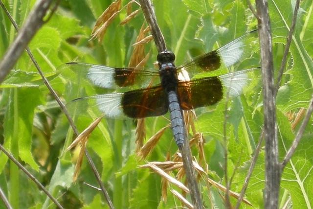 Blackhawk Springs Forest Preserve, Winnebago County, dragonfly