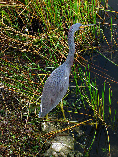 egretta caerulea, Taylor Slough, Everglades National Park