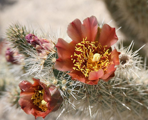 anza borrego desert state park, california, desert, cactus