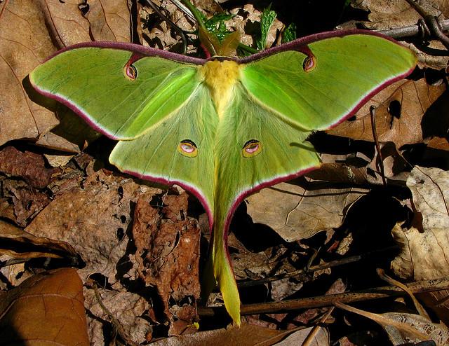 Luna Moth, Chattahoochee National Forest, actias luna