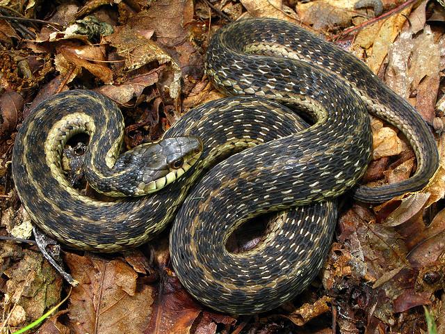thamnophis sirtalis, Chattahoochee National Forest, Snake, garter snake
