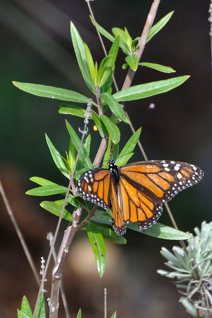 coyote hills, coyote hills regional park, california, monarch, butterfly