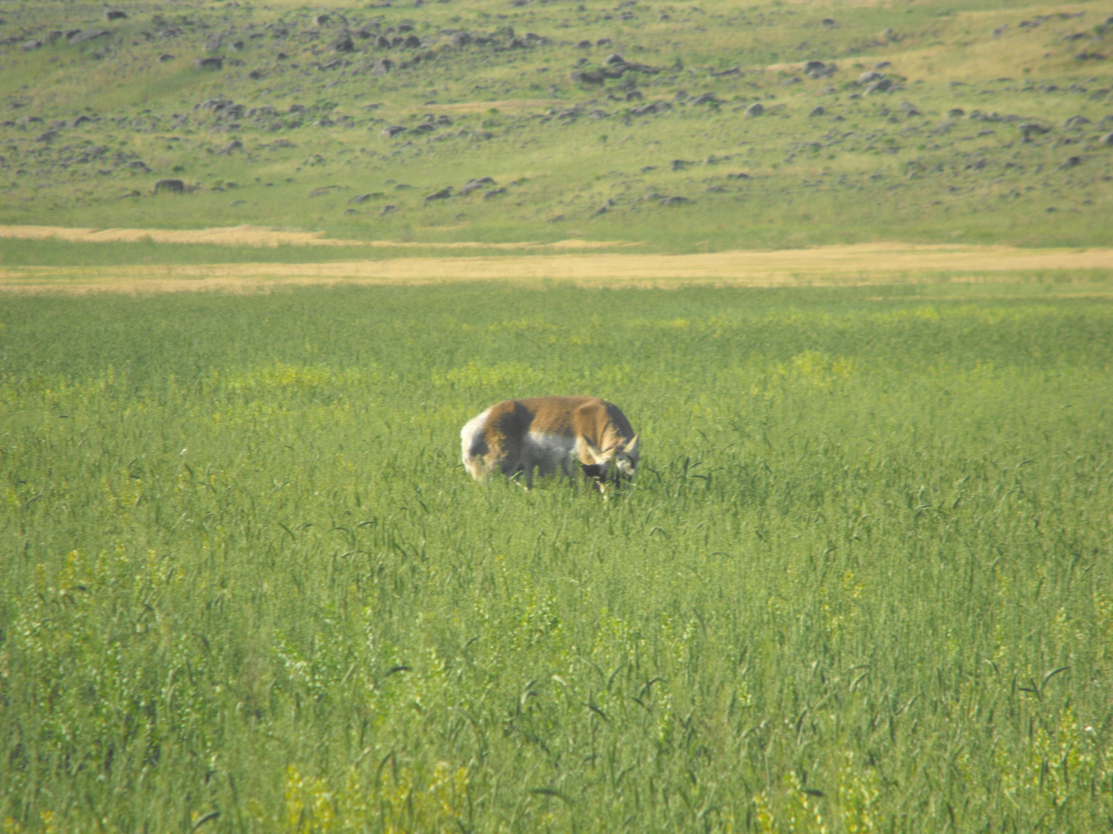 yellowstone, yellowstone national park, gazelle