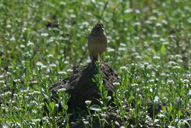 Grasshopper Sparrow, Deer Run Forest Preserve, Winnebago County Illinois
