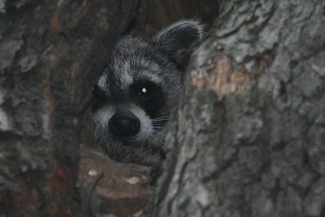 Deer Run Forest Preserve, raccoon, winnebago county illinois