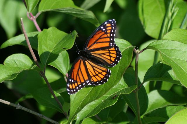 butterfly, deer run forest preserve, limenitis arcchippus