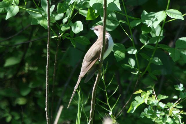 Black-Billed Cuckoo, Deer Run Forest Preserve, Winnebago County Illinois