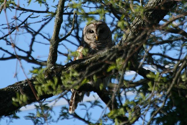barred owl, deer run forest preserve, winnebago county, owl