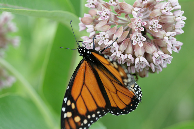 Monarch butterfly, deer run forest preserve, winnebago county