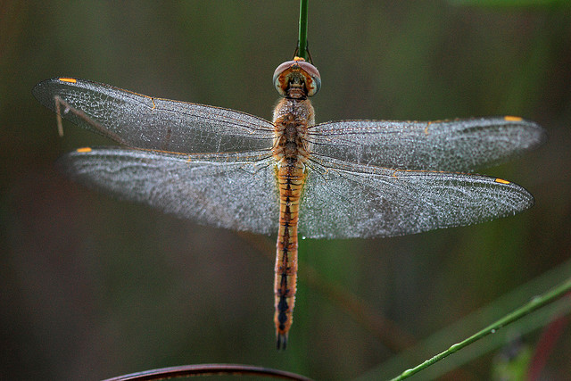 pantala flavescens, dragonfly, Everglades National Park