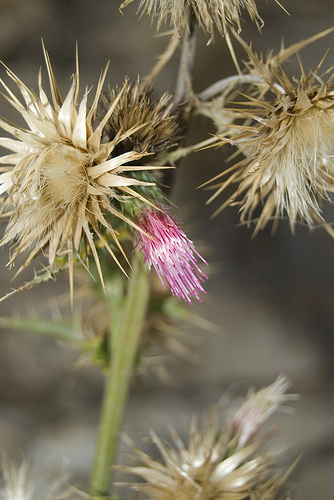 thistle, grand canyon, grand canyon national park, arizona