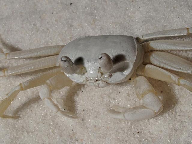 ocypode quadrata, ghost crab, gulf islands national seashore