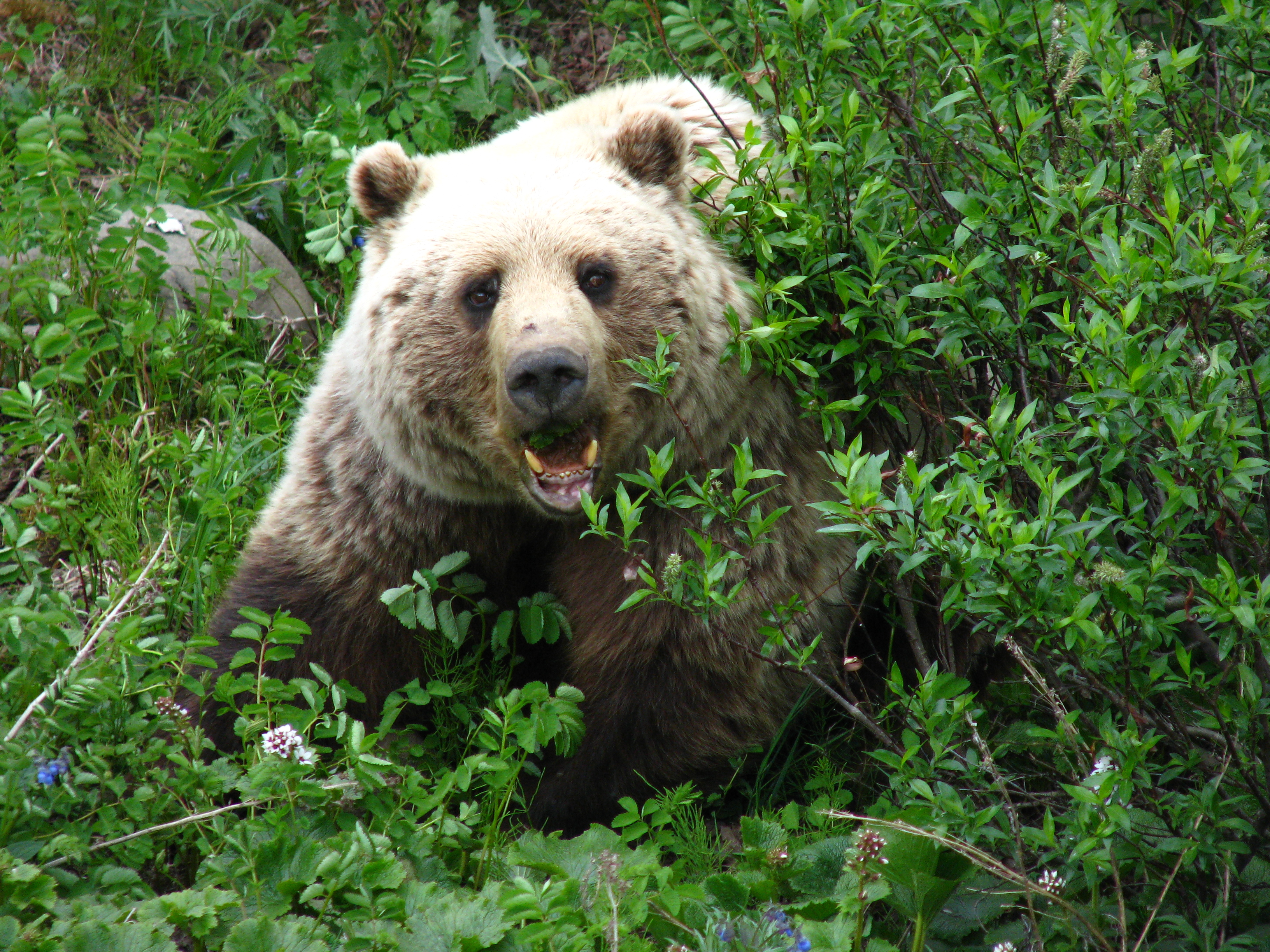 grizzly bear, denali, denali national park, alaska