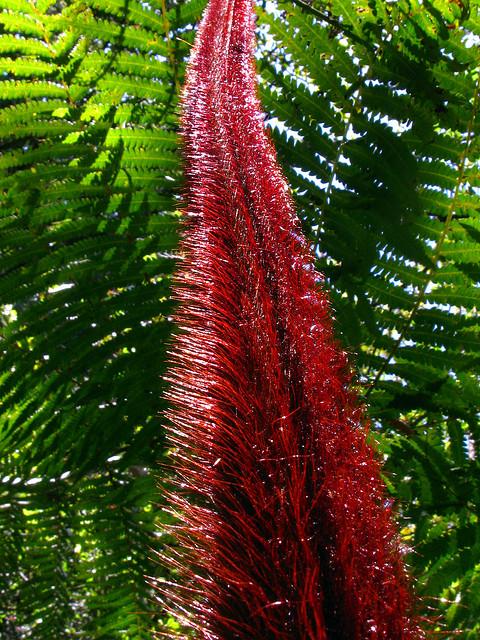 cibotium menziesii, kalopa staet recreation area, hawaii