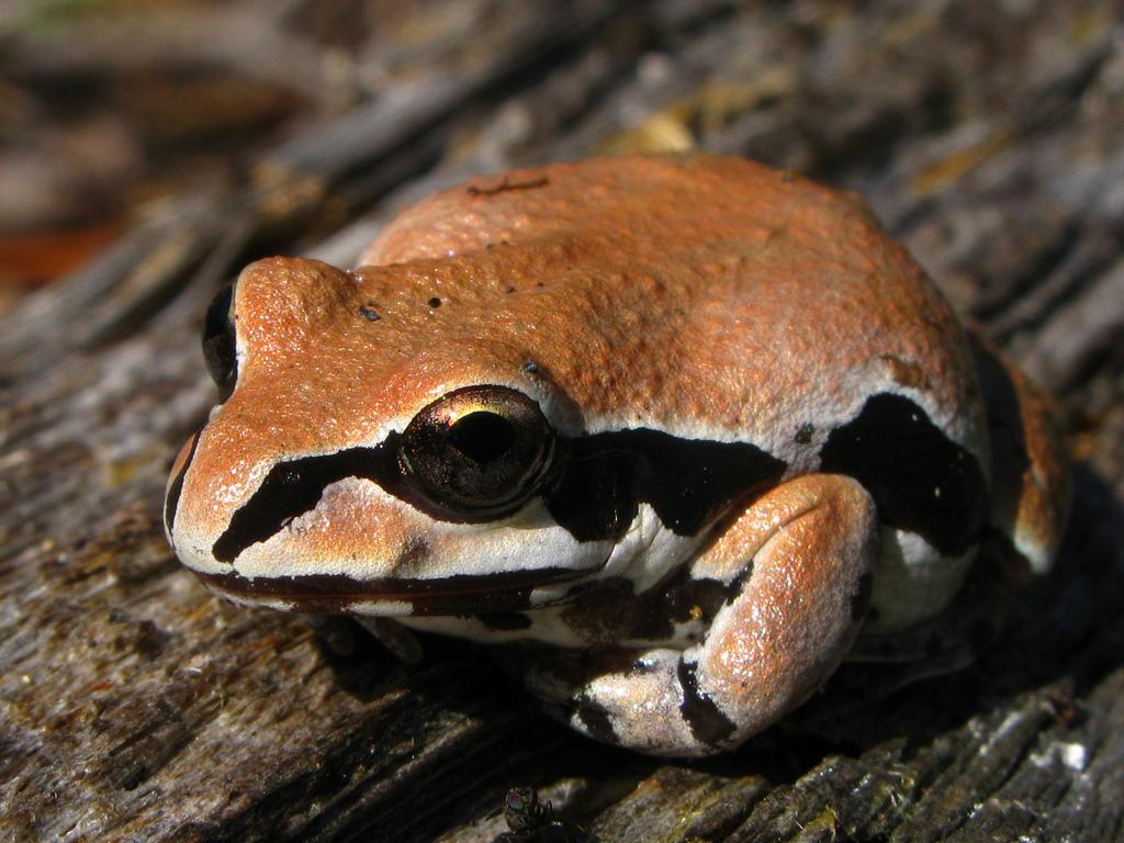 st. mark's national wildlife refuge, florida, frog