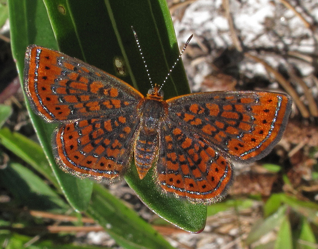 st. mark's national wildlife refuge, florida, moth