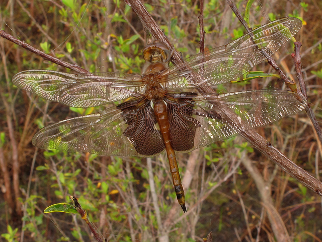 st. mark's national wildlife refuge, florida, dragonfly