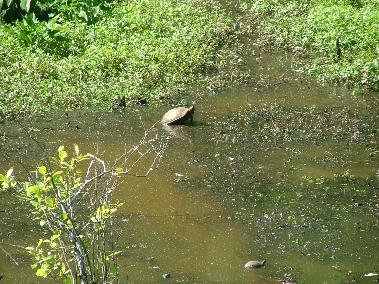 Mason Mill Park, swamp, turtle
