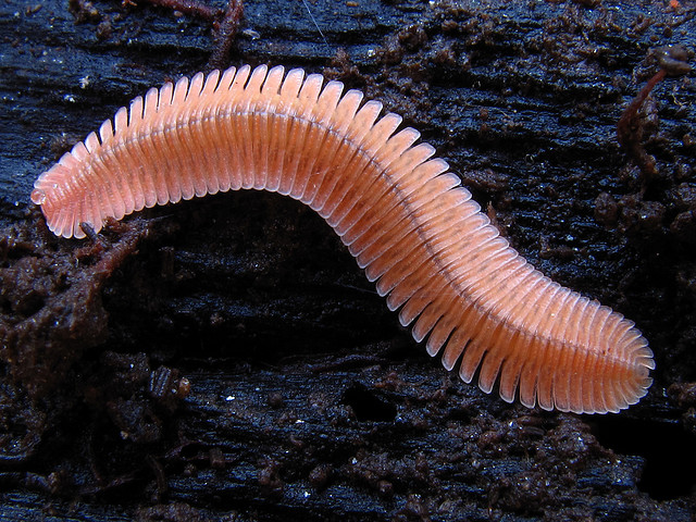 brachycybe lecontii, millipede, Chattahoochee National Forest