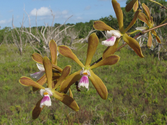 encyclia tampensis, everglades national park, Florida