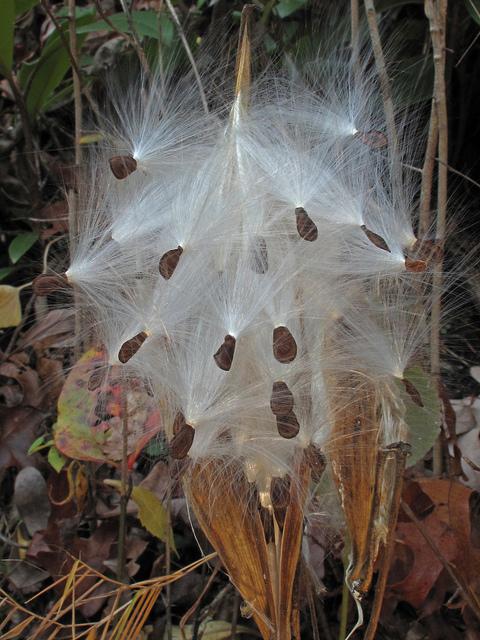 Asclepias exaltata, Nantahala National Forest, Seeds, North Carolina, Forest