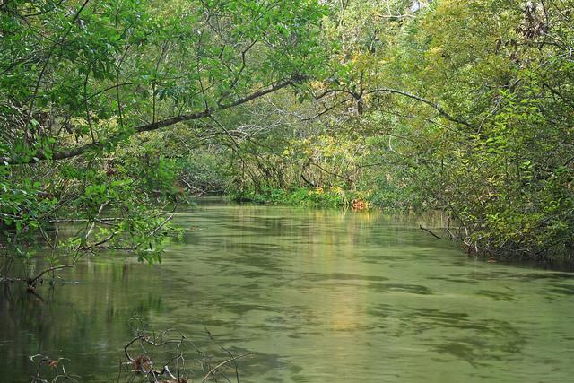 juniper prairie wilderness, juniper creek, ocala national forest, florida