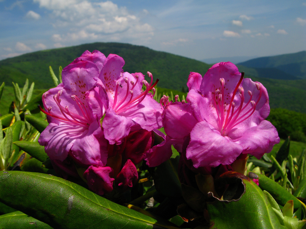 pisgan national forest, north carolina, mountains, flowers