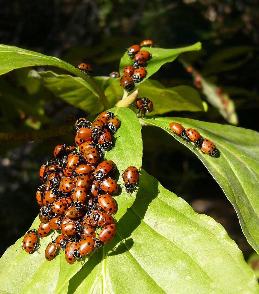 plumas national forest, california, ladybugs, forest