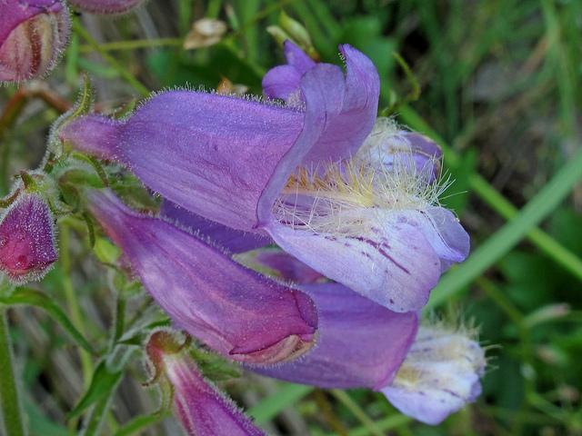 Penstemon canescens, Chattahoochee National Forest