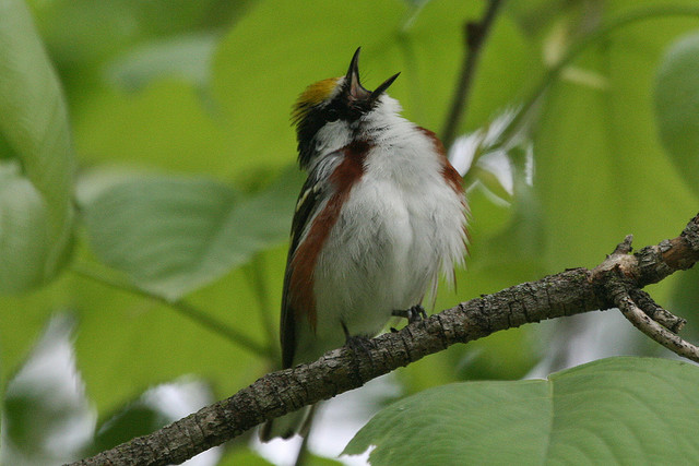 chestnut-sided warbler, rock cut state park, illinois