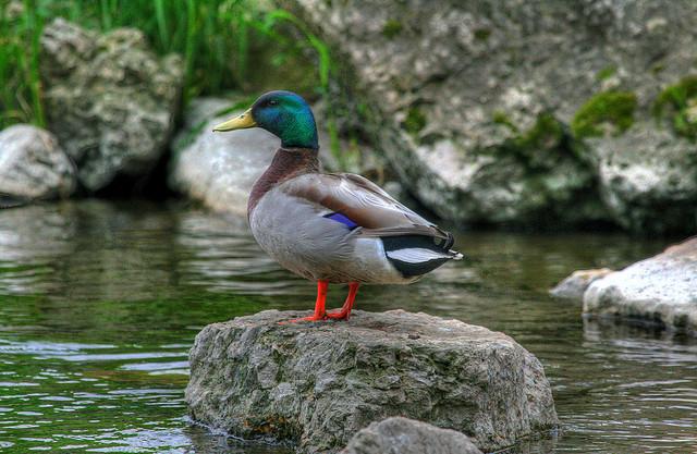 mallard, rock cut state park, illinois, duck