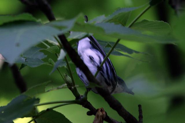 cerulean warbler, rock cut state park, illinois