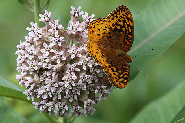 Rock Cut State Park, Butterfly, great spangled fritillary