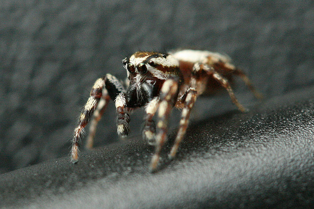 jumping spider, rock cut state park, illinois