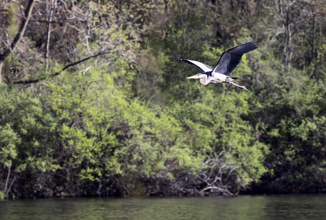 rock cut state park, illinois, blue heron