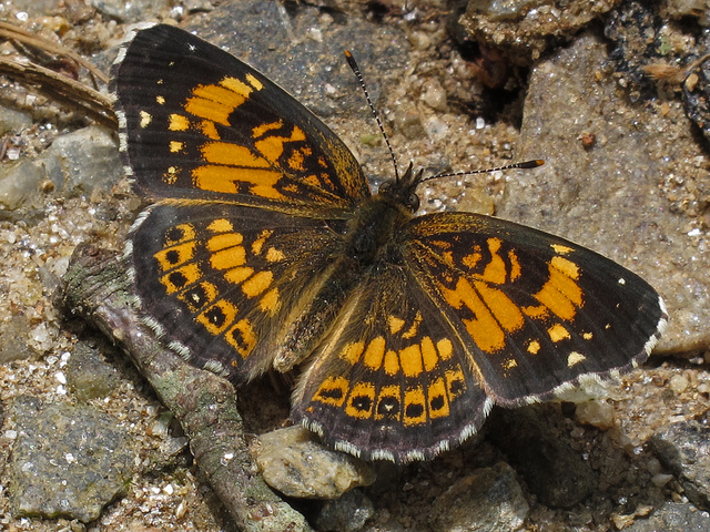 silvery checkerspot, butterfly, chattahoochee national forest, georgia