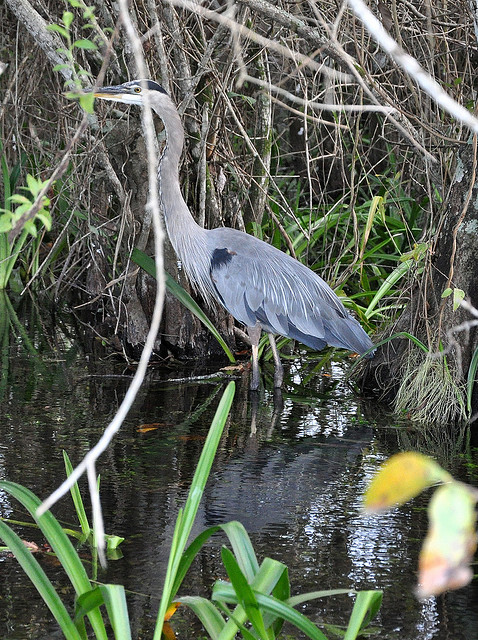 everglades national park, wetlands, florida, blue heron, swamp