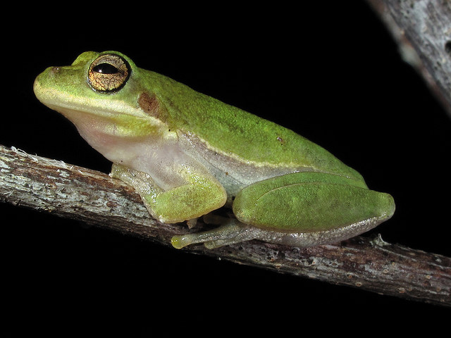 nya squirrela, squirrel tree frog, Everglades National Park, Florida