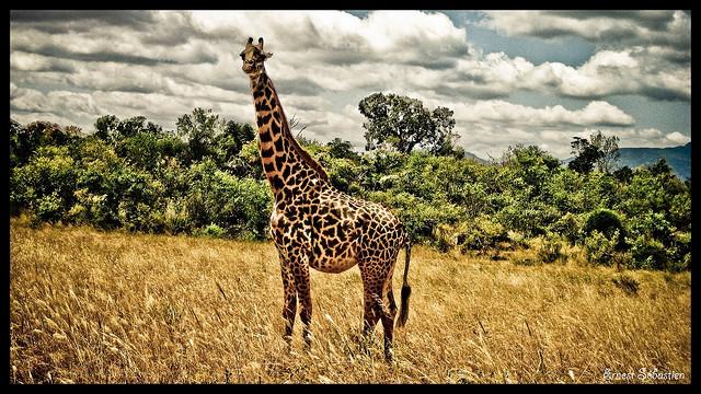 tsavo east national park, kenya, giraffe, africa