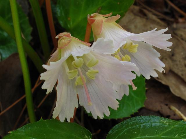shortia galacifolia, Chattahoochee National Forest