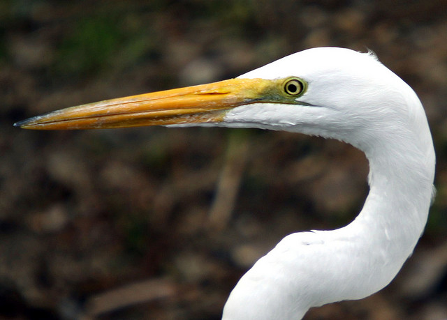 yorba regional park, great egret, orange county california