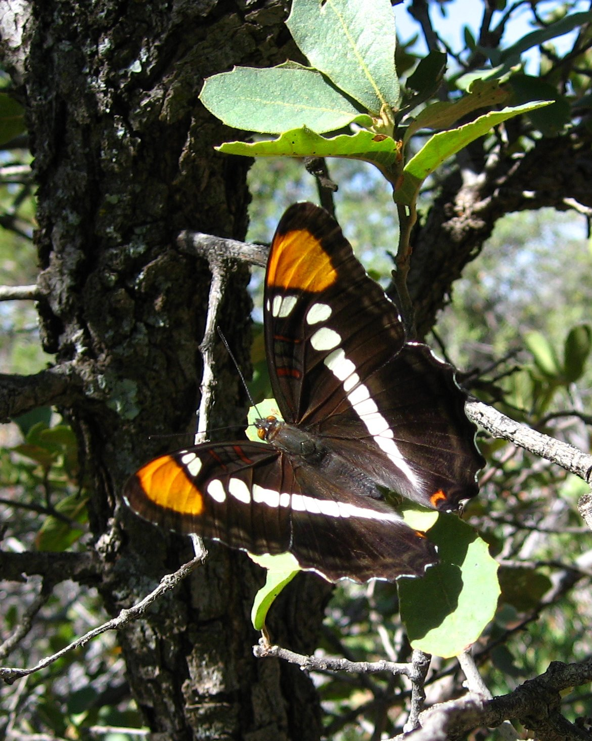 Tonto National Forest, Arizona, Desert, butterfly