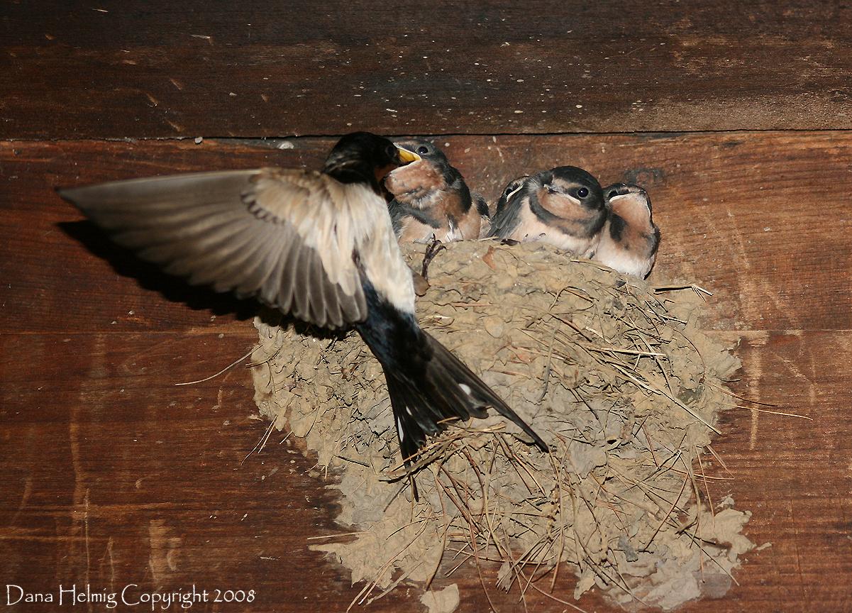 swallows, barn, great smoky mountains national park