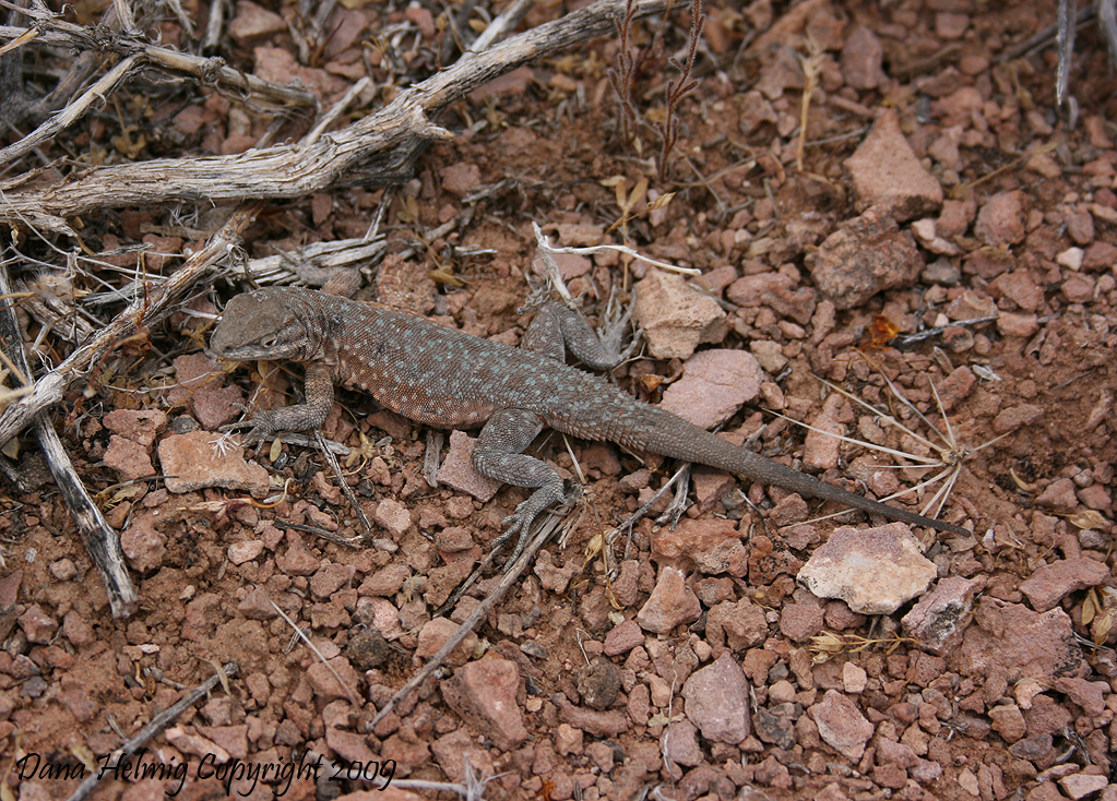 grand canyon national park, lizard