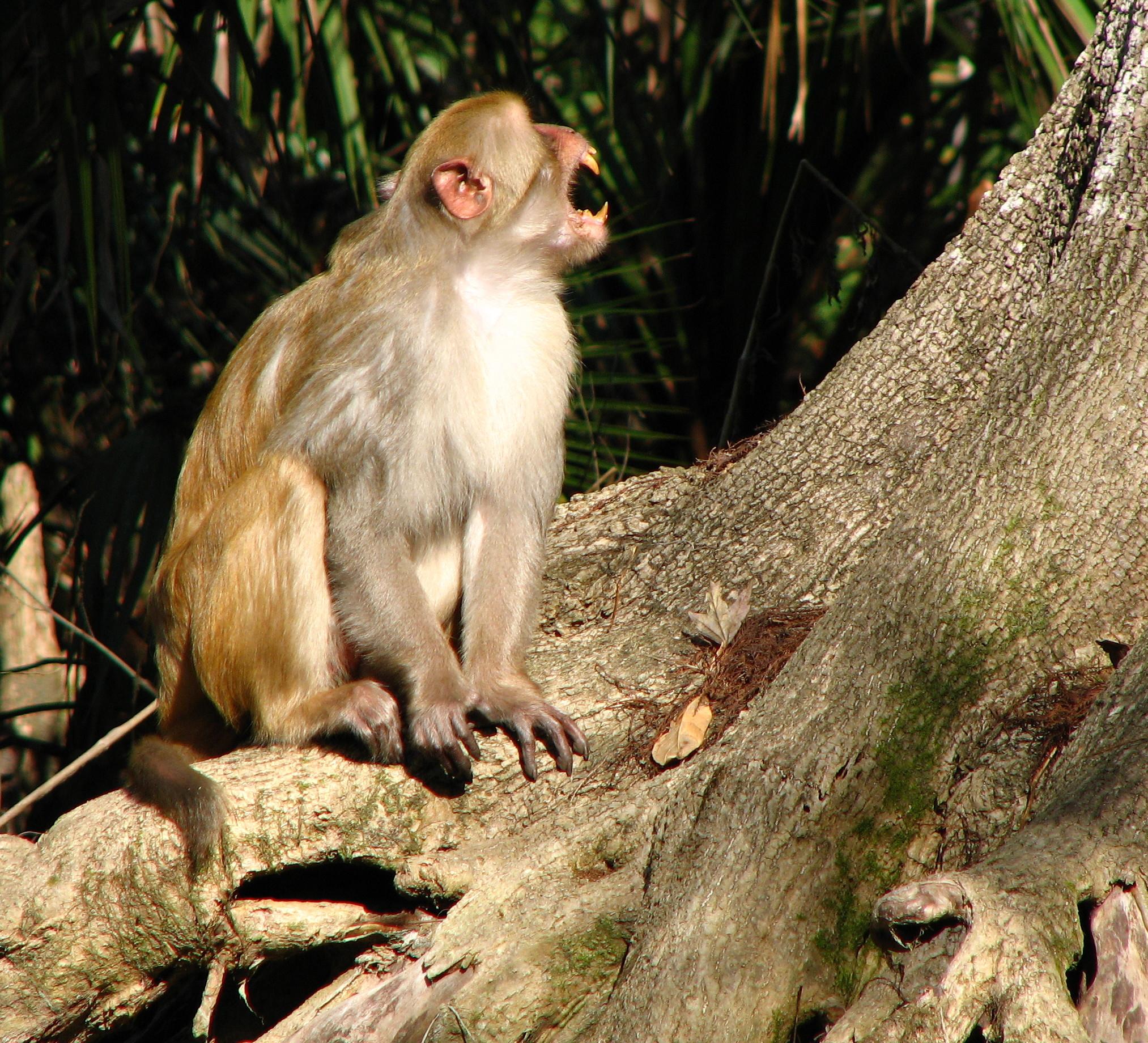 rheesus monkey, ocala national forest, monkey, florida